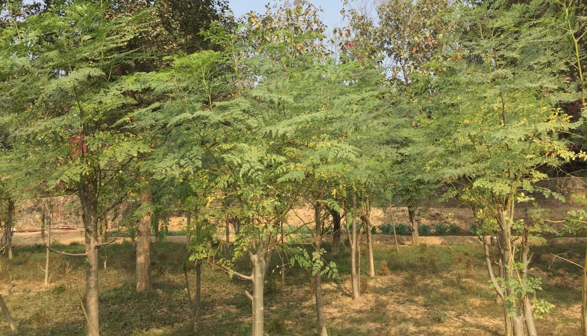 Moringa: The All-in-One Leaf
